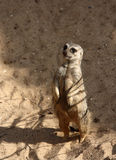 Still standing. A photo of a mongoose standing royalty free stock image