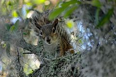 Still staring  squirrel on old  oak tree. Covered with spanish moss - Sciurus carolinensis, frontal closeup of this cautious squirrel peering out from the tree Stock Images
