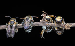 Still together of bees. Royalty Free Stock Photo
