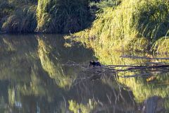 Still Water River Reflections. Beautiful water reflections in early morning light on a still river, cormorant bird in foreground royalty free stock images