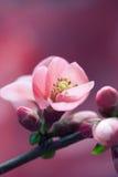 Rosa färg fjädrar Fotografering för Bildbyråer