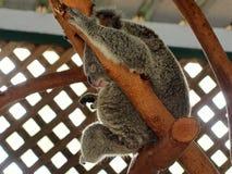 Stilla keliga Chubby Koala i en stillhet kopplad av slummer Arkivfoton