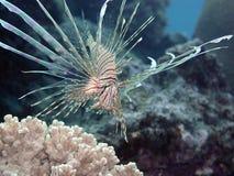 Stillahavs- barnslig lionfish Arkivbild