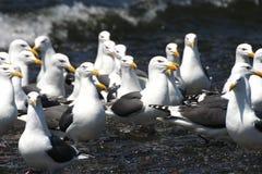 Stillahavs- fiskmåsar Royaltyfri Fotografi