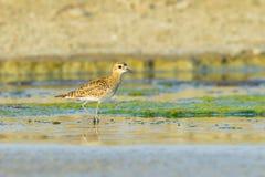 Stillahavs- guld- brockfågel Royaltyfri Bild