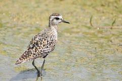 Stillahavs- Guld--brockfågel (Pluvialisfulvaen) Royaltyfria Foton