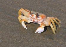 Stillahavs- krabba Royaltyfri Fotografi