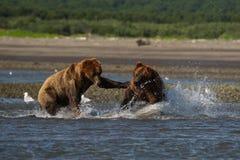 Stillahavs- kust- brunbjörnususarctos som slåss - som är grizzliy - royaltyfria foton