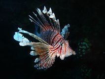 Stillahavs- lionfish Arkivfoto