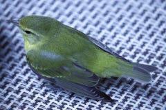 Stillahavs--lutning flugsnappare Arkivfoto