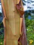 Stillahavs- Madrona för Arbutusträdstam Royaltyfri Bild