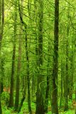 Stillahavs- nordvästlig rainforest och Douglas granträd Fotografering för Bildbyråer