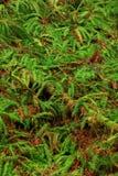 Stillahavs- nordvästlig rainforest och svärdormbunkar Royaltyfri Fotografi
