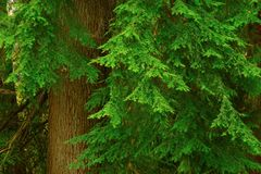 Stillahavs- nordvästlig skog med ett alaskabo träd för gult cederträ Royaltyfri Fotografi