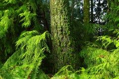 Stillahavs- nordvästlig skog med ett Douglas granträd Arkivfoto