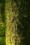 Stillahavs- nordvästlig skog med ett Douglas granträd Royaltyfri Foto
