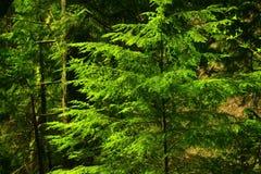 Stillahavs- nordvästlig skog med ett Douglas granträd Royaltyfri Bild