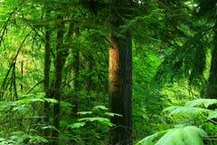 Stillahavs- nordvästlig skog med ett Douglas granträd Fotografering för Bildbyråer