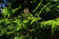 Stillahavs- nordvästlig skog med ett västra träd för rött cederträ Arkivfoton