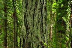 Stillahavs- nordvästlig skog med för en Douglas för gammal tillväxt träd gran Royaltyfria Bilder
