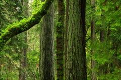 Stillahavs- nordvästlig skog med träd för en Douglas gran Arkivbilder