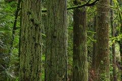 Stillahavs- nordvästlig skog med träd för en Douglas gran Arkivbild