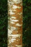 Stillahavs- nordvästlig skog med träd för en röd al Royaltyfri Bild