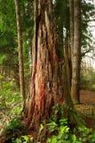 Stillahavs- nordvästlig skog och avverkat barrträdträd arkivbilder