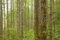 Stillahavs- nordvästlig skog och Douglas granträd Royaltyfri Foto