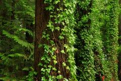 Stillahavs- nordvästlig skog och Douglas granträd arkivfoton