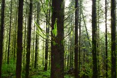 Stillahavs- nordvästlig skog och Douglas granträd royaltyfria foton