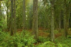 Stillahavs- nordvästlig skog och Douglas granträd arkivbilder