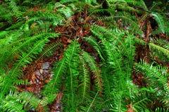 Stillahavs- nordvästlig skog och hjortormbunkar Royaltyfri Fotografi
