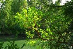 Stillahavs- nordvästlig skog och Stillahavs- madroneträd Arkivbilder