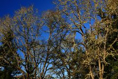 Stillahavs- nordvästlig skog och Oregon ekar Fotografering för Bildbyråer