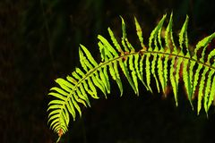Stillahavs- nordvästlig skog och svärdormbunke Royaltyfria Foton