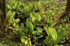 Stillahavs- nordvästlig skog och växt för skunkkål Royaltyfria Bilder