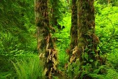 Stillahavs- nordvästlig skog och vinrankalönnträd Royaltyfria Bilder