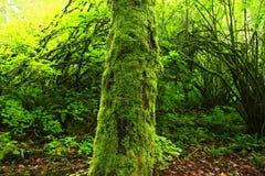 Stillahavs- nordvästlig skog och vinrankalönnträd Royaltyfri Bild