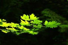 Stillahavs- nordvästlig skog och vinrankalönnträd Royaltyfri Foto