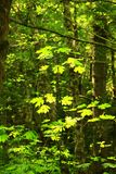 Stillahavs- nordvästlig skog och vinrankalönnträd Royaltyfria Foton