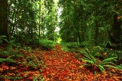 Stillahavs- nordvästlig skog som fotvandrar slingan Arkivbild