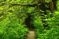 Stillahavs- nordvästlig skog som fotvandrar slingan Fotografering för Bildbyråer