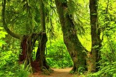 Stillahavs- nordvästlig skog som fotvandrar slingan Arkivfoton