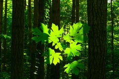 Stillahavs- nordvästligt skog- och barrträd-/lönnträd Royaltyfri Foto