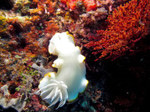 Stillahavs- Nudibranch Royaltyfri Bild