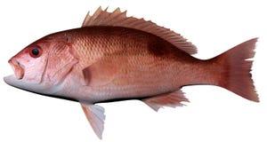 Stillahavs- röda Snapper royaltyfri bild