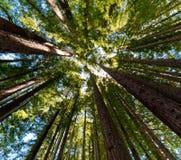 Stillahavs- redwoodträd Fotografering för Bildbyråer