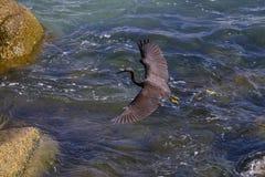 Stillahavs- revägretthäger, svart Stillahavs- revägretthäger som söker efter fisken på Arkivfoton