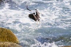 Stillahavs- revägretthäger, svart Stillahavs- revägretthäger som söker efter fisken på Royaltyfria Bilder
